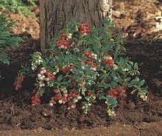 Vossebes (Vaccinium vitis-idaea)-directplant