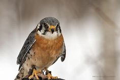 American Kestrel / Crécerelle d'Amérique / Falco sparverius   by FRITSCHI PHOTOGRAPHY
