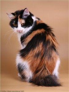 Kurilian bobtail. Exotic Cat Breeds, Purebred Cats, Mixed Breed, Like Animals, Beautiful Cats, Animals Beautiful, Warrior Cats, Siamese, Pixies