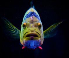 Cichla ocellaris fish - Flickr - Photo Sharing!