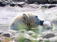 Talini, a polar bear born at the Detroit zoo 10-years-ago munches on a frozen treat with fish and and fruits at the Detroit Zoo in Royal Oak, Tuesday, July 28, 2015.