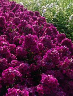 Syysleimu Raving Beauty Purple Garden, Amazing Flowers, Fall Season, Garden Inspiration, Flora, Plants, Spring, Beauty, Google