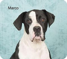 Harrisburg, PA - Great Dane Mix. Meet Marco, a dog for adoption. http://www.adoptapet.com/pet/13728193-harrisburg-pennsylvania-great-dane-mix