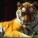Amur or Siberian tiger at the Alaska Zoo in Anchorage, Alaska!!
