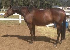 $1500 Breed: Thoroughbred Height: 16.2½hh Age: 13yo Sex: Gelding Location: Bringelly, NSW, 2556 Beautiful natured bay Zabeel gelding (quiet). Off the track 3 years now, ready to be retrained in your chosen discipline. Pleasure to c/s/f/w. Stunning movement. Would suit showing, dressage or jumping. Exp rider only.
