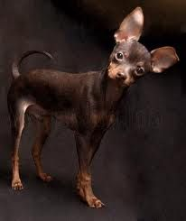 a Russkiy Toy or Russian Toy Terrier Dachshund Puppies, Chihuahua Puppies, Chihuahuas, Frenchie Puppies, Mini Pinscher, Miniature Pinscher, Prager Rattler, Russian Toy Terrier, Baby Animals