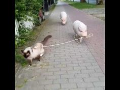 A pig walking a cat, or a cat walking a pig? In any case, just awesome! :)