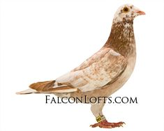 Racing Pigeon Lofts, Pigeons For Sale, Pigeon Pictures, Pigeon Breeds, Homing Pigeons, Places To Visit, Birds, Almond, Fancy