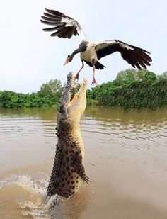 Crocodile chatch duke in Timor leste by domenicosalsinha on 500px
