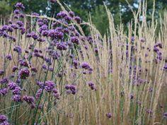 Verbena bonariensis und Gräser