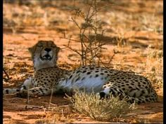 Cheetahs: The Deadly Race - A Documentary by National Geographic Save Wildlife, Cheetahs, Leopards, National Geographic, Documentary, Habitats, Survival, Racing, Website