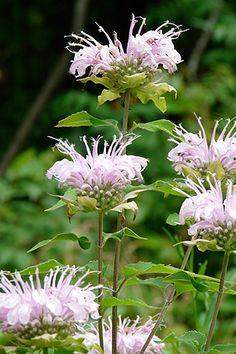 Monarda fistulosa (Bergamot) : Prairie Nursery Native Plants, Buy Native Plants   Native Seeds   No Mow Lawn   Native Landscape Consulting