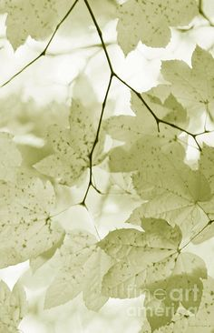 Softness Of Olive Green Maple Leaves Print By Jennie Marie Schell