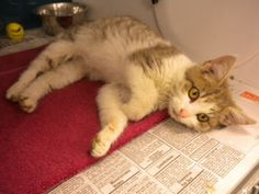 Boots is an adoptable Domestic Medium Hair Cat in Carthage, MO. Boots is a very loveable fun loving kitten. We are open Monday through Friday from noon until 5:00 p.m. and Saturday from 11:00 a.m. unt...