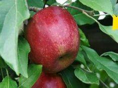 Ha hamarabb tudom ezt az almafa leveiről, már rég így csináltam volna! Erről neked is tudnod kell! Minion, Apple, Fruit, Food, Apple Fruit, Essen, Minions, Meals, Yemek
