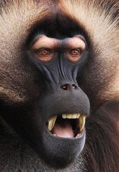 Steve Mackay | Gelada Baboon