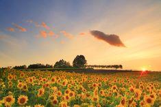 美瑛町 ひまわり畑 (Biei Sunflower field) ヒマワリとラベンダーの花畑の丘と白樺並木と夕日【絶景NIPPON】 #ひまわり #ラベンダー