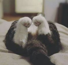 Literally Just 14 Photos of Cats With Their Cute Lil Paws Curled Up – Meowingtons Cute Kittens, Cats And Kittens, Cats 101, Crazy Cat Lady, Crazy Cats, I Love Cats, Cool Cats, Cat Paws, Dog Cat