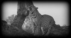 Shadow on #safarilive  @revealed_africa 10-16-17