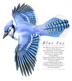 Bird illustration - Blue Jay - bird art, print of original artwork - A3