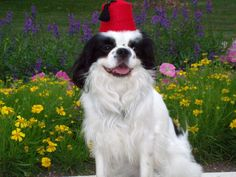 Pep's Halloween Costume, of course with a bow tie too. Dog Fez, $7.50, via Etsy.