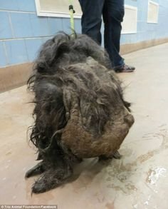 Veterinarians couldn't even tell if she was male or female — or which end was front or back. The dog was so matted that her back legs dragged across the floor.