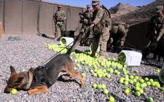 BEST CARE PACKAGE EVER FOR A MILITARY DOG. Pfc. Steven Olson and Military Working Dog Alex❠take a moment of happiness over an array of tennis balls. The Tactical Explosive Detection Dogs are calm and collected until they see a tennis ball. The balls, nearly 3,000 of them, were donated to the TEDDs team by a family member taking donations.