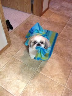 """Fantastic """"shih tzu puppies"""" detail is readily available on our site. Take a look and you wont be sorry you did Perro Shih Tzu, Shih Tzu Puppy, Shih Tzus, Cute Puppies, Cute Dogs, Dogs And Puppies, Doggies, Cute Baby Animals, Funny Animals"""