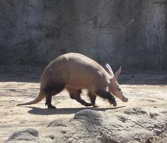 One aardvark can eat up to 50,000 ants or termites in just one night! Find out more about these natural exterminators here!