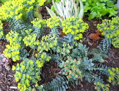 Euphorbia myrsinites looks great as ground cover or in pots. Looks Great, Pots, Cover, Garden, Garten, Lawn And Garden, Gardens, Gardening, Outdoor