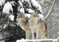 Mexican gray wolves at Brookfield Zoo during the #polarvortex. #brookfieldzoo…