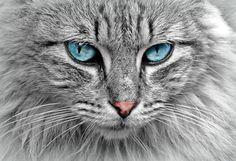 Gato, Animales, Retrato Del Gato, Caballa, Gato De Ojos