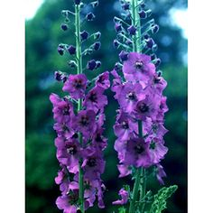 42 best florida easy grow flowers images on pinterest perennial verbascum temptress purple botanical verbascum zone 5 to 9 type perennial mightylinksfo