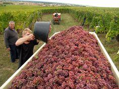 Journée Vendanges en Alsace au Domaine Stentz-Buecher #GourmetOdyssey