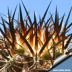 Photo gallery: cactus spines