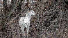 A nógrádi erdőben kapták lencsevégre a mesebeli csodaszarvast - Finom ételek, olcsó receptek