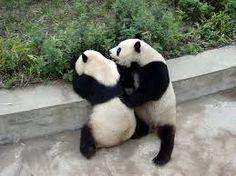 Výsledek obrázku pro panda wallpaper hd