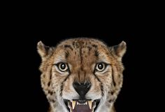 Portraits of Exotic Animals  Photographer Brad Wilson caught the deep look of exotic animals. They look in the direction of the lens, making us looking them in the eyes. We discover animals with sweet, wild, observant, interrogative expressions in which we like plunging.exoticanimals3