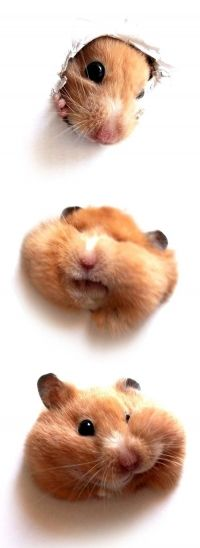 I love hamsters! #hilarious
