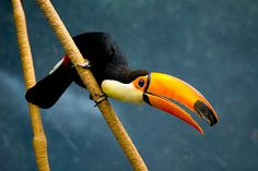 toco toucan I've always loved them, so one day I need a bright eyed toucan pal in my life Caracal, Animals And Pets, Cute Animals, Toco Toucan, Tropical Birds, Science And Nature, Beautiful Birds, Beautiful Creatures, Habitats