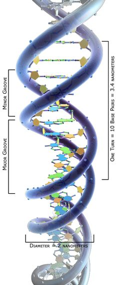 Doble hélice es el nombre que se asocia con la estructura molecular del ácido desoxirribonucleico (ADN). Si bien el ADN ya había sido aislado en el siglo XIX e identificado químicamente en 1909, su estructura no fue definida hasta 1953
