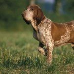 Bracco Italiano breed