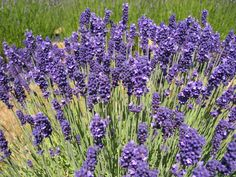 some don't want to make Lavander, Lavender Blue, English Lavender Plant, Lavandula Angustifolia, Practical Magic, Yard Design, Garden Gates, Flower Seeds, The Fresh