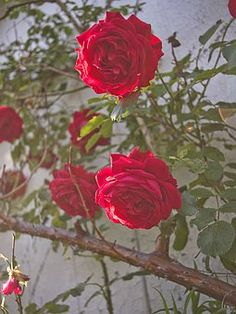 Flowers, Nature, Plant, Red, Rose