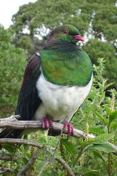 http://www.birdingnz.co.nz/images/dmImage/StandardImage/Kereru.jpg