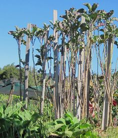 Tall Tree Collards This May Or Not Be The Walking Kale Variety We