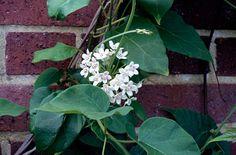 RHS Plant Selector Dregea sinensis / RHS Gardening