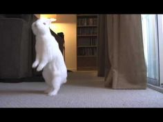 Bunny walks on hind legs. Funny Home Videos, Pet Videos, Funny Animal Videos, Funny Animals, Funny Bunnies, Cute Bunny, A Funny, Funny Cats, Cute Gif