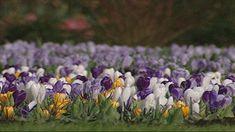 Al vroeg in het voorjaar kun je de eerste lentebloemen zien bloeien, hoe kan dat al zo vroeg?
