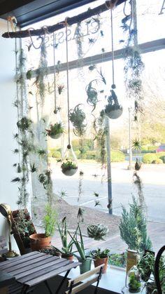 Amazing air plant display ideas 8 - All For Herbs And Plants Succulent Display, Air Plant Display, Hanging Succulents, Hanging Plants, Window Plants, Patio Plants, Plants Indoor, Indoor Gardening, Air Plant Terrarium